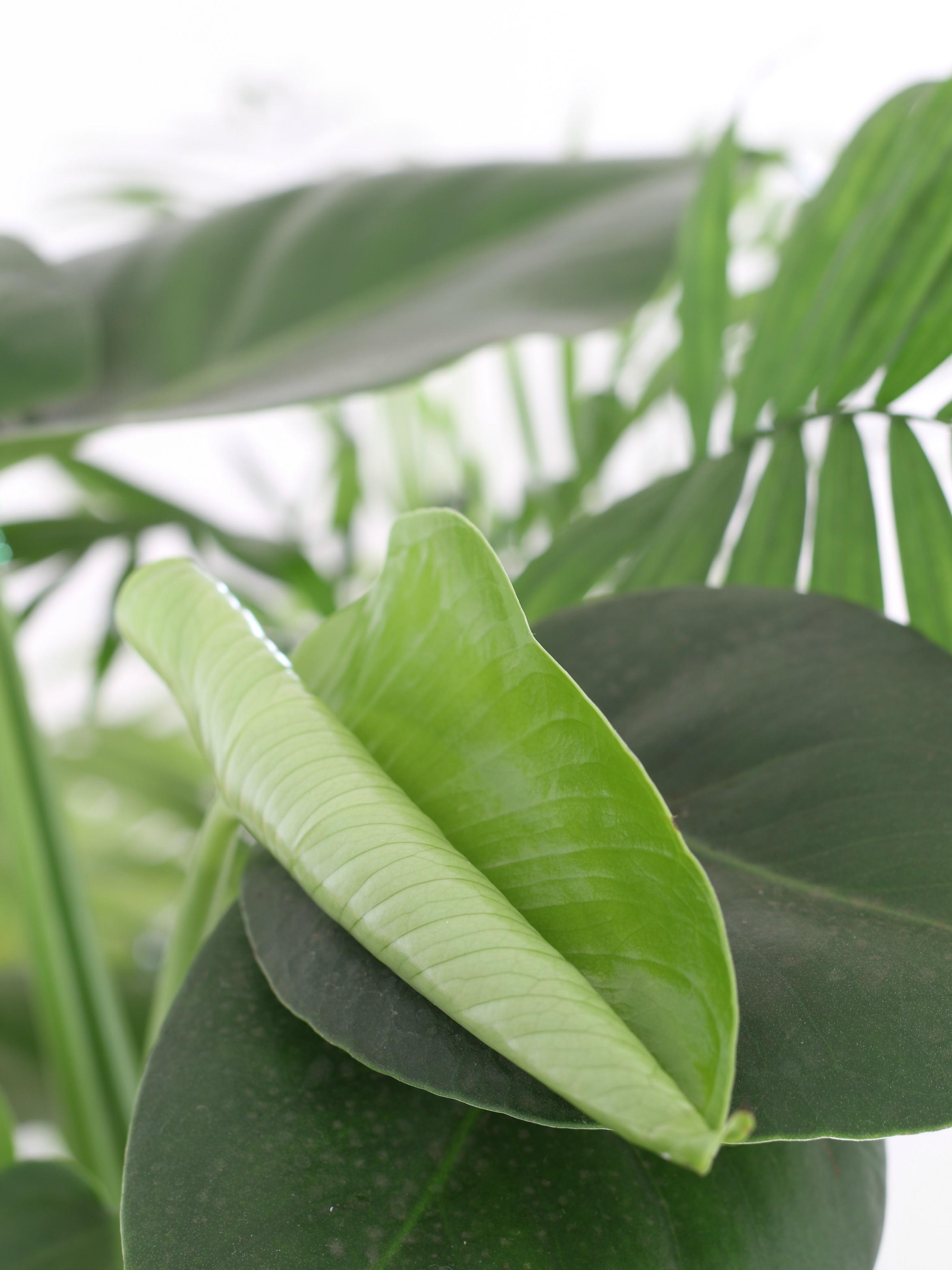 Viihtyisä sisustus viherkasveilla raikastaa kodin peikonlehti Omakotivalkoinen
