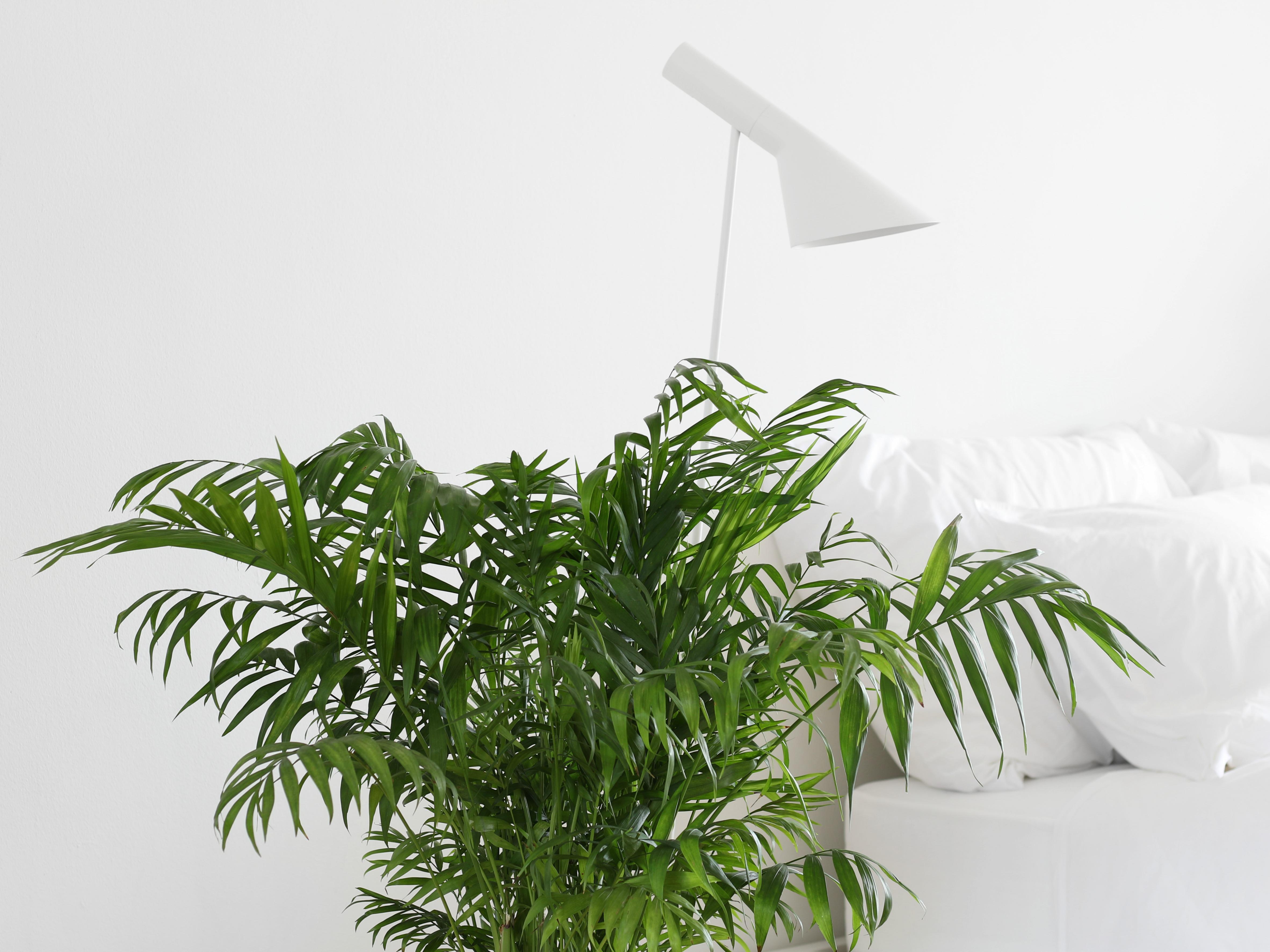 Vihersisustus Vuoripalmu Viherkasvi Valkoinen sisustus omakotivalkoinen