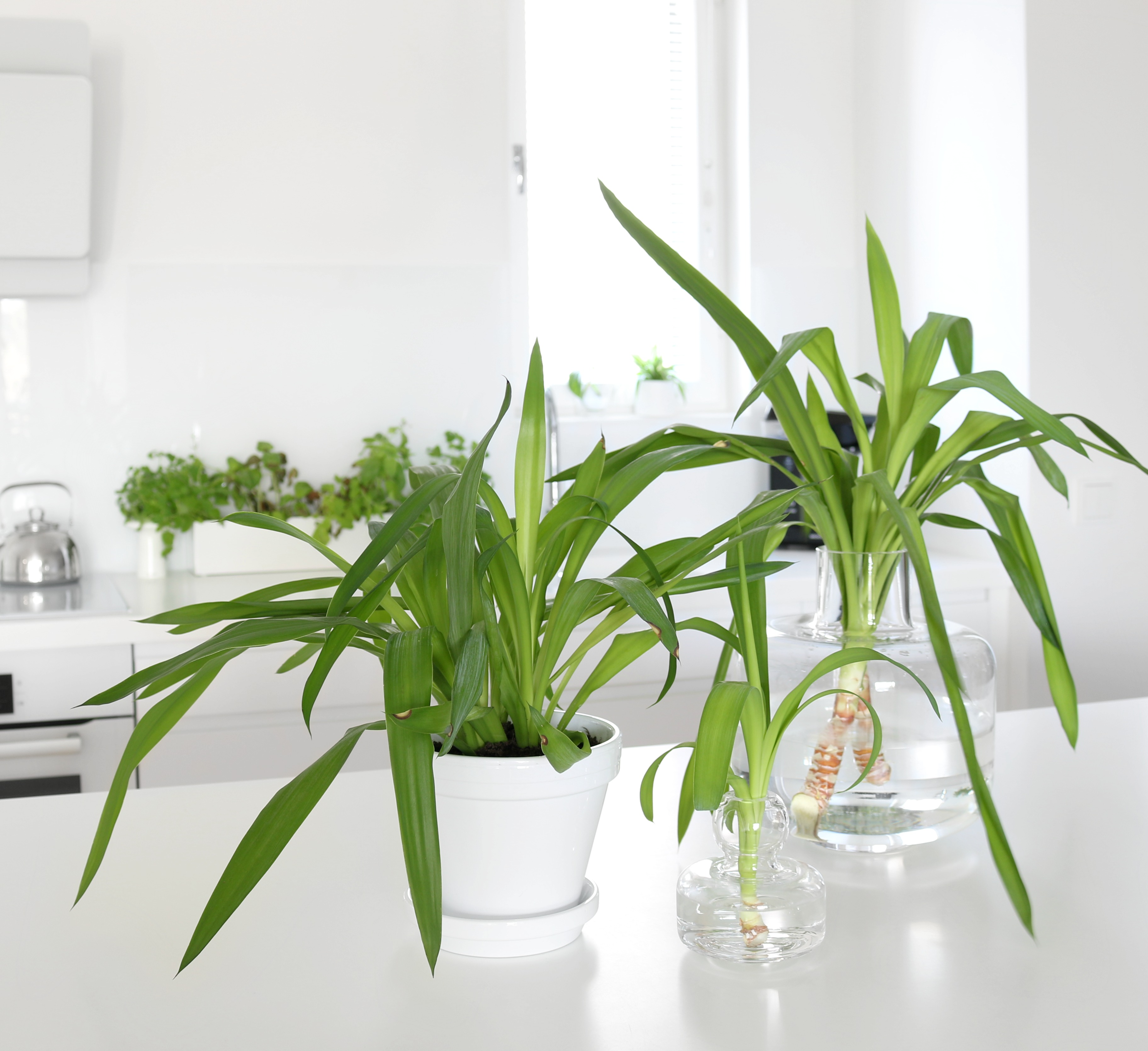 Huonekasvi viherkasvi pistokkaan juurrutus ja istuttaminen multaan omakotivalkoinen
